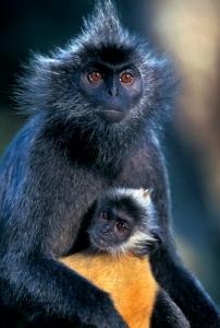 Voọc bạc là động vật quý hiếm thuộc nhóm 1B - Ảnh minh họa